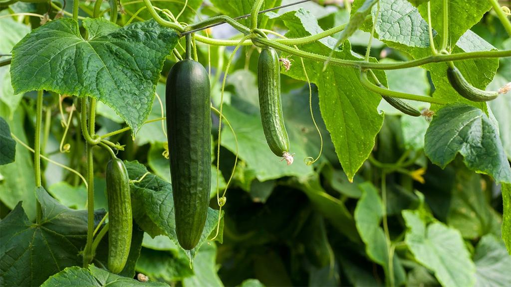 Уборка урожая ранних овощей началась в Подмосковье